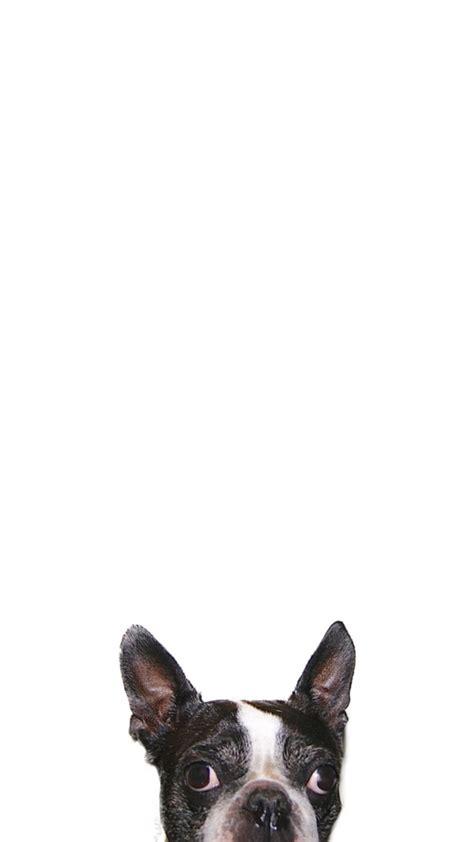 iphone  iphone   wallpaper boston terrier wallpaper
