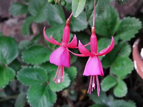 growing fuchsia  houseplants