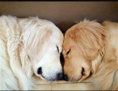golden retriever blogs golden retriever breeders ontario dogs our friends photo