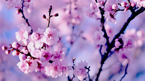 cherry blossoms stories from the inaka 3d wallpapers