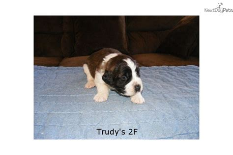 st bernard puppies for sale near me bernard photo bernard breeders colorado bernard breeds picture