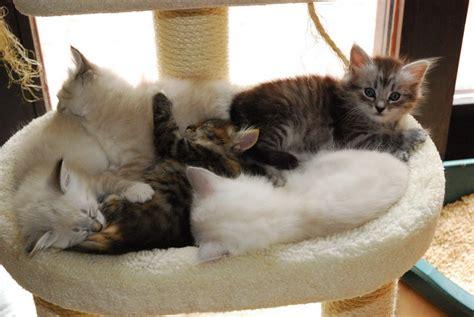 wie weit gehen katzen zuhause weg abgabe unserer katzenkinder sibirische katzen und neva