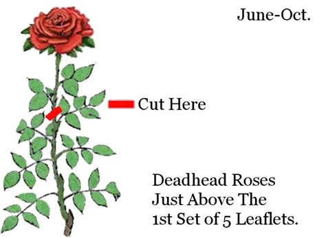 rose care guide galbraith s