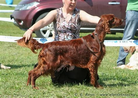 hungarian setter dog komarom cacib hungarian setter clubshow exclusively