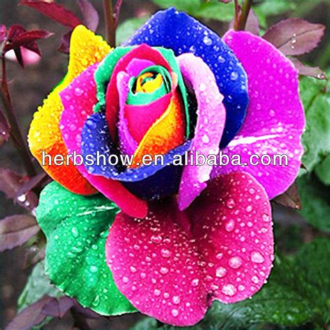pelangi mawar biji bunga umbi bunga biji bibit id