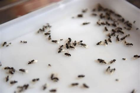 what attracts ants in the bedroom small flying ants in bedroom www indiepedia org