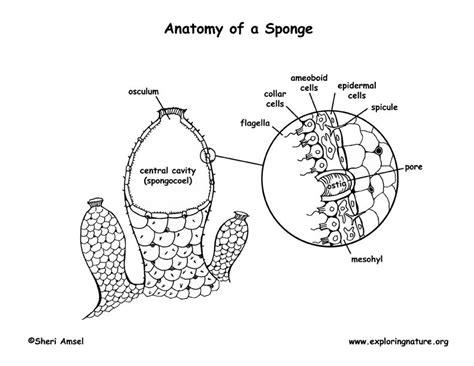 anatomy of a sponge diagram sponge anatomy coloring page