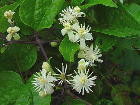 clematis fiore di bach floriterapia fiori di bach clematis clematis