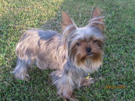 silver blue yorkie silver blue terrier silver yorkie dogs pictures breeds picture