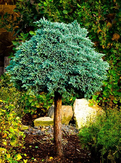 blue star juniper tree  tree center