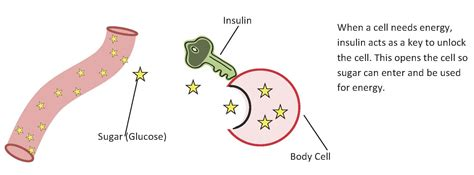 insulin diagram what is diabetes cray diabetes education center