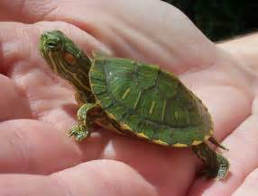 Red Eared Slider Turtle Facts, Habitat, Diet, Pet Care, Pictures