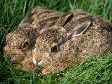 fotos animales silvestres conejos silvestres hd fotoswiki net