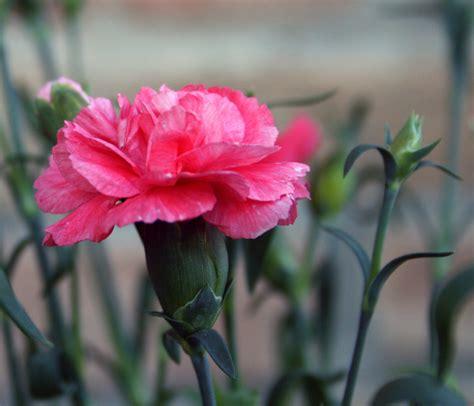 fiori di garofano garofano il fiore cura il cuore ficcanasando