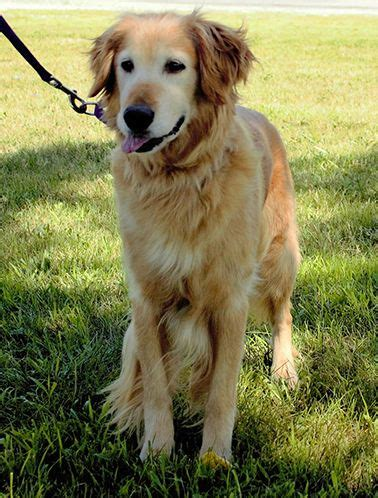 trained golden retrievers for adoption best 25 golden retriever ideas on
