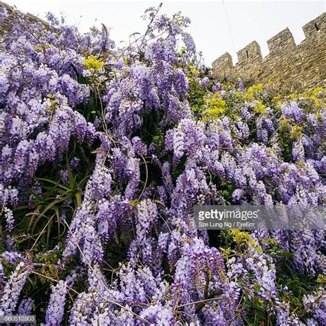 Wisteria Tree Pictures