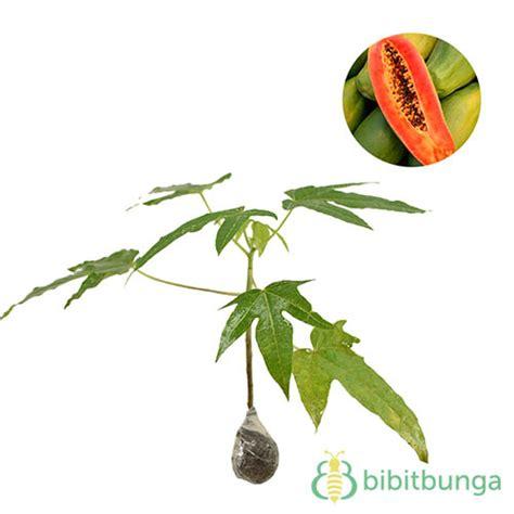 Bibit Tanaman Wortel Dapat Dihasilkan Dalam Jumlah Banyak harga tanaman buah dalam pot non tabulot lengkap