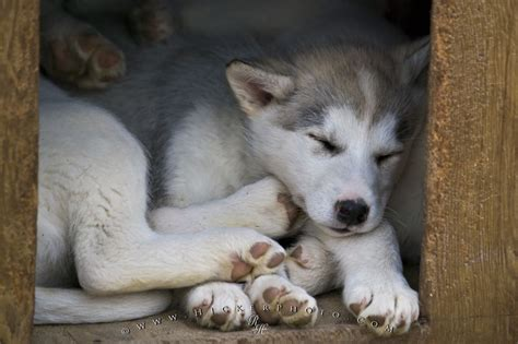eskimo puppy canadian eskimo puppies picture photo information