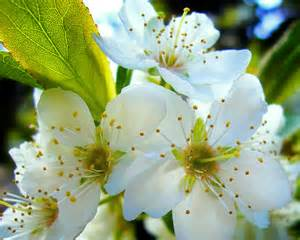 Flower Tree Pictures - plum tree flower by marcosrodriguez on deviantart