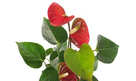 pianta con fiori bianchi tipo calla mi hanno regalato un anthurium e adesso fiori e foglie