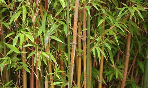 bambus krankheiten uso bamb 250 para el tratamiento de aguas residuales