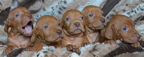 vizla puppies hurry our amazing vizsla puppies are going golden retrievers
