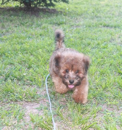 mini wheaten doodle quot fancy quot mini whoodle available mini poodle and