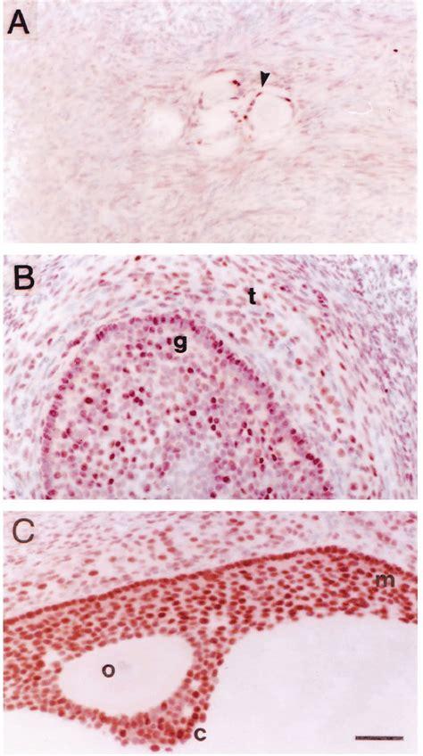 expression  gata  protein  human ovaries