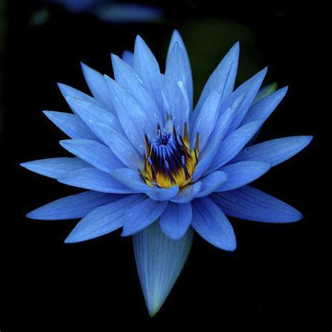 Blue Lotus Blue Lotus As Medicine Nymphaea Caerulea Medicine Room