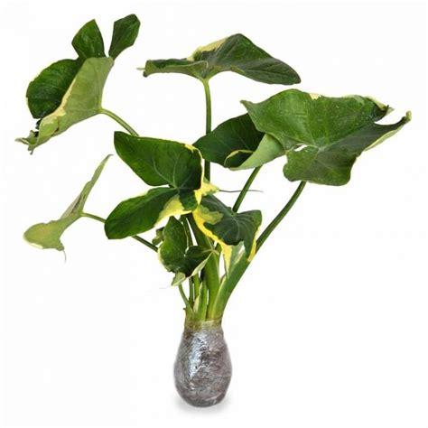 gambar aneka macam jenis tanaman keladi hias gambar daun