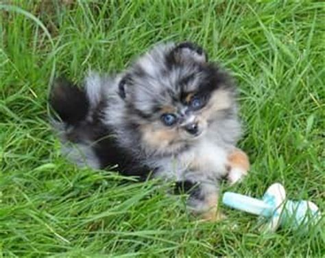 pomeranian merle blue merle pomeranian www pixshark images galleries with a bite