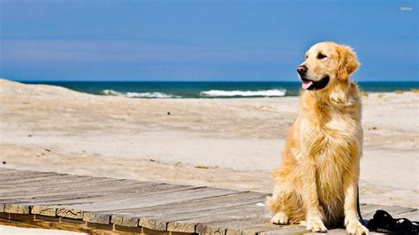 golden retriever desktop wallpaper golden retriever wallpapers wallpaper cave