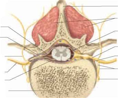 transverse section of spinal cord showing meninges poliomyelitis and amyotrophic lateral sclerosis physiology