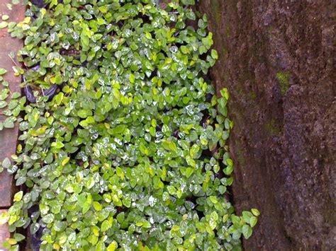 hijau  pohon agustus