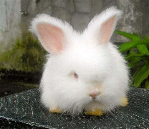 Kelinci Imut Lucu gambar kelinci anggora mini yang lucu dan imut terbaru