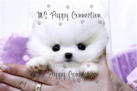 puppy connection pin ms puppy connection on
