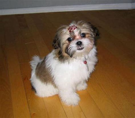 shih tzu bichon mix tashu the bichon frise shih tzu mix puppies daily puppy