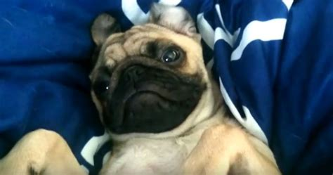 tired pug comfy pug is a time getting up and how he makes it known will make