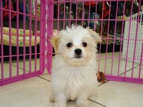 havatese puppies dogs for sale in columbus macon