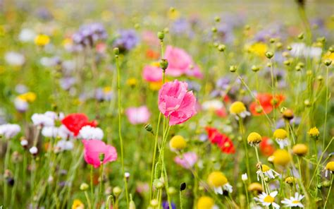 wallpaper flower field field of flowers hd wallpapers photos for inspiration