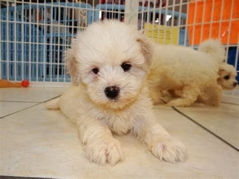 puppies for sale in clarksville tn mati poo puppies for sale in tennessee tn 19breeders clarksville