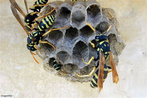 Bees That Make Paper Nests - paper wasps