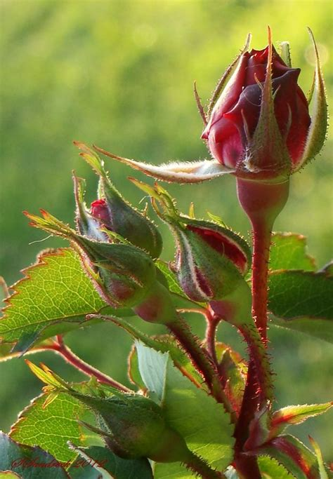 roses rose buds and ornate 25 best ideas about buds on beautiful