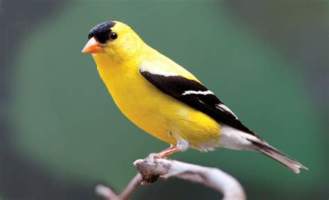 washington s state bird willow goldfinch northwest