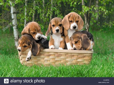 beagle puppies indiana beagle puppies in the basket stock photo royalty free image 52637648 alamy