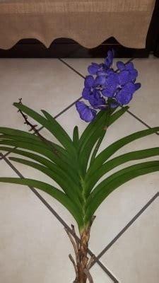 orchidea vanda in vaso di vetro orchidea vanda sfiorita consigli su illuminazione e trattam