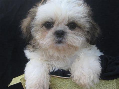 10 pound shih tzu top 10 top 10 most friendly breeds