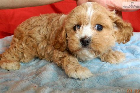 cavapoo puppies for sale in indiana cavapoo puppy for sale near south bend michiana indiana 70d99912 0ae1