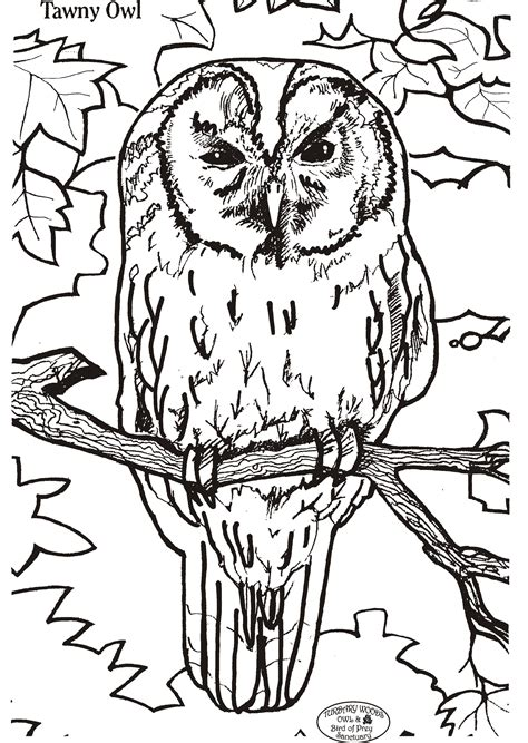 tawny owl coloring page tawny owl colouring competition fun stuff turbary woods