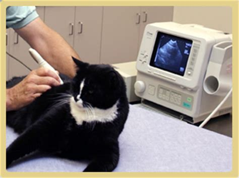 ultrasound cost how much does an ultrasound cost for a cat northern illinois cat clinic